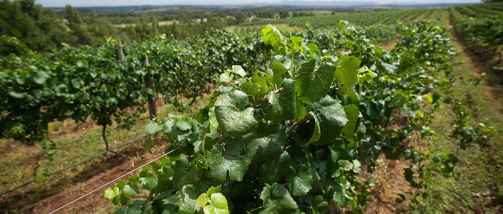 Vines ready for picking, Hunter Valley Vineyard, NSW, Australia