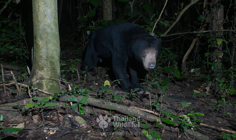 The sun bear (Helarctos malayanus) is a bear found in tropical forest habitats of Southeast Asia. It is classified as Vulnerable by the IUCN as the large-scale deforestation that has occurred throughout Southeast Asia over the past three decades has dramatically reduced suitable habitat for the sun bear.