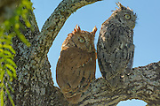 Pair of eastern screech-owls . Both a reg and gray color morph