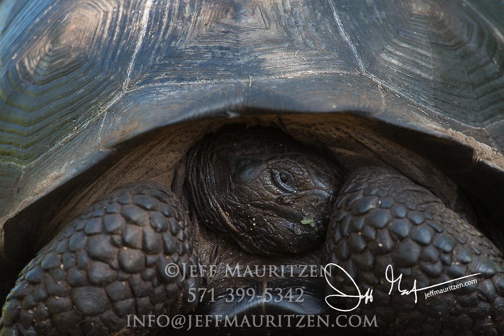 An endemic Galapagos Giant tortoise on Isabela island, Galapagos islands, Ecuador.