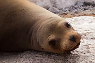 Galapagos Sea Lion (Zalophus californianus wollebaeki or Zalophus wollebaeki) <br /> ECUADOR: Galapagos Islands<br /> Plazas Island<br /> 19-Aug-2010<br /> J.C. Abbott &amp; K.K. Abbott
