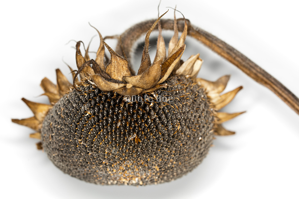 close up of a ripe sunflower head with seeds