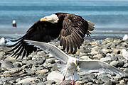 A bald eagle startles a Glaucous Gulls as it flies along the beach at Anchor Point, Alaska.