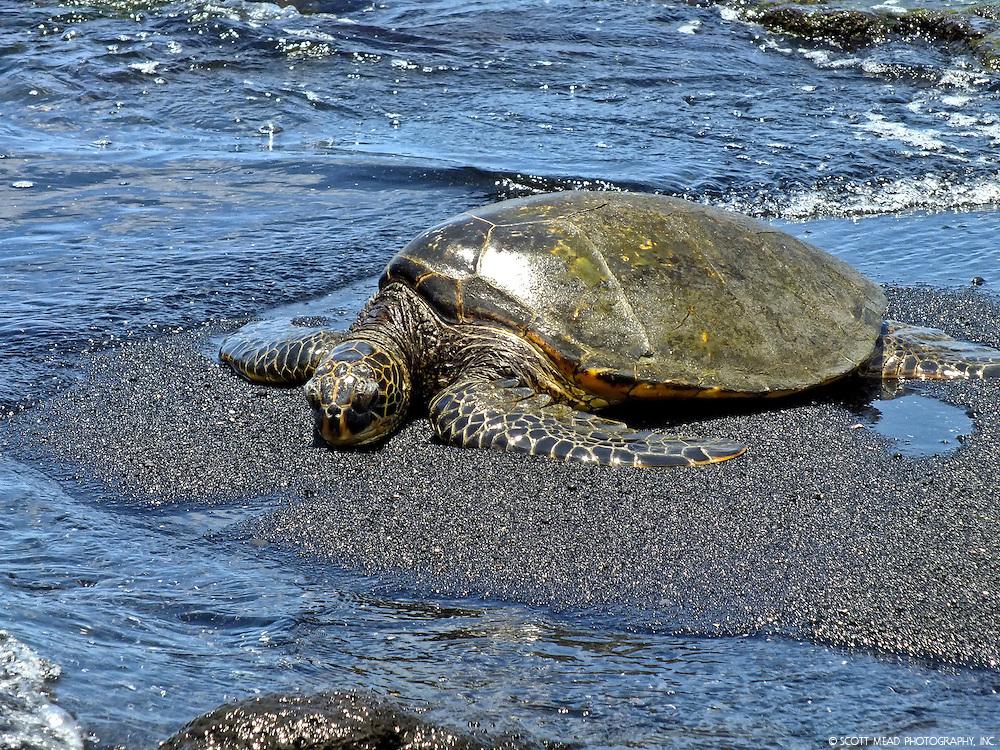 A Hawaiian Green Sea Turtle relaxes at Punaluu's black sand beach on Hawaii's Big Island