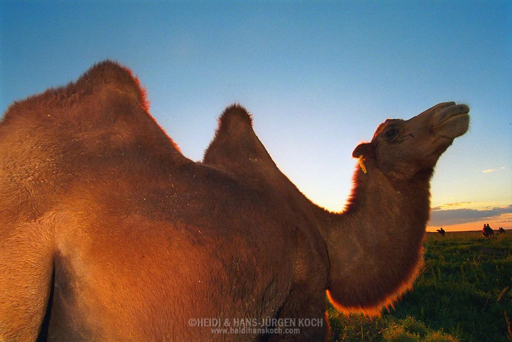 Mongolei, MNG, 2003: Kamel (Camelus bactrianus) reckt neugierig seinen Hals bei Sonnenuntergang. | Mongolia, MNG, 2003: Camel, Camelus bactrianus, at sunset, curious raising its head, South Gobi. |