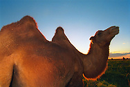Mongolei, MNG, 2003: Kamel (Camelus bactrianus) reckt neugierig seinen Hals bei Sonnenuntergang. | Mongolia, MNG, 2003: Camel, Camelus bactrianus, at sunset, curious raising its head, South Gobi. |