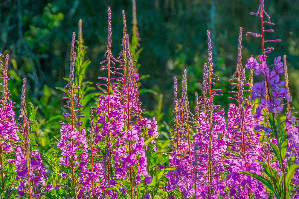 Fireweed flourishng in the changing climate from spring to summer in Alaska.