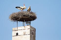 THEMENBILD - Die Freistadt Rust am Neusiedlersee wird auch Hauptstadt der Stoerche genannt. Der Weissstorch (Ciconia ciconia) zaehlt zu den groessten Landvoegeln Europas. Das Federkleid ist bis auf die schwarzen Schwungfedern rein weiss. Schnabel und Staender sind rot. Hier im Bild ein Weissstorchenpaar in seinem Nest am Kamin eines Ruster Wohnhauses. Aufgenommen am 19.05.2013 in Rust. // THEMES IMAGE - The town of Rust on Lake Neusiedl is also called the capital of the storks. The White Stork (Ciconia ciconia) counts the largest land birds in Europe. The plumage is pure white except for the black wing feathers, beak and uprights are red. This image shows a White Stork pair in his Lair on the chimney of a residential house of Rust. Pictured in Rust, austria on 2013/05/19. EXPA Pictures © 2013, PhotoCredit: EXPA/ Johann Groder
