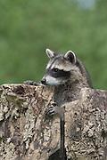 """Waschbär, etwa 3 Monate altes Jungtier in einer Baumhöhle, Höhle im Baum, Portrait, Portr‰t, Waschbaer, Wasch-Bär, Procyon lotor, Raccoon, Raton laveur, """"Frodo"""""""