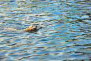 A dog swims across Barton Creek, just below Barton Springs Pool in Austin Texas, July 14, 2007. Barton Springs Pool is a natural springfed pool that has come under increasing pressure from urbanization of the Texas Hill Country.