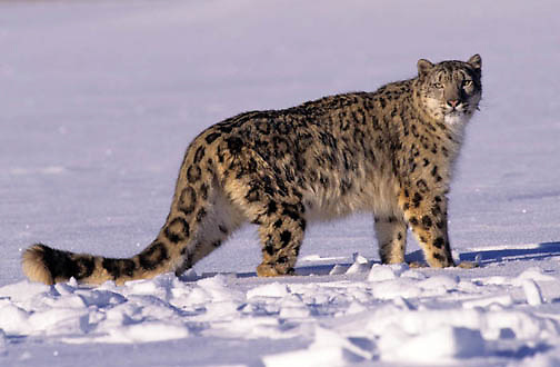 Snow Leopard, (Panthera uncia) Inhabits high mountains in central Asia. WInter. Captive Animal.
