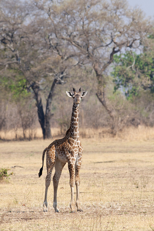 Baby giraffe. South Luangwa National Park, Zambia.