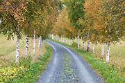 Bjørkeallé. Betula in autumn colours.