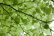 Soft young beech leaves are a delicate lime green colour.