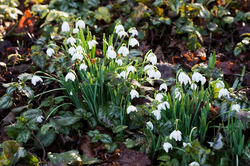 Snowdrops grow amongst Ivy  in Oxfordshire woodland, England, United Kingdom