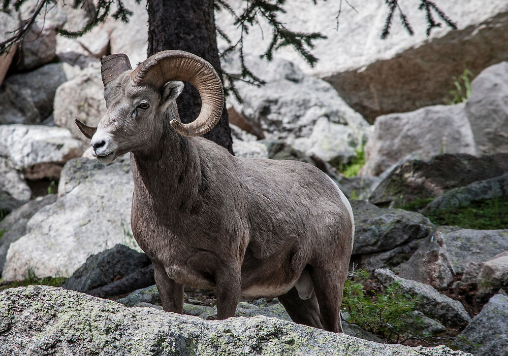 Rocky Mountain Bighorn Sheep. Pecos Wilderness, New Mexico<br /> <br /> AVAILABLE AS:<br /> <br /> Size 20&rdquo; x 16&rdquo; (50.8cm x 40.6cm approx)*<br /> Edition of ONLY 100 at this size.<br /> US$350 + shipping<br /> <br /> Hand printed in Taos, New Mexico, USA by Taos Print and Photography Services using archival inks and fine art paper. signed and numbered by hand.<br /> <br /> Contact jim@jimodonnellphotography.com to order