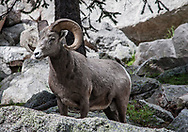 Rocky Mountain Bighorn Sheep. Pecos Wilderness, New Mexico<br />