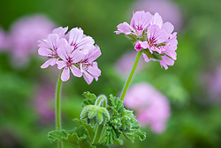 Scented Pelargonium 'Attar of Roses'
