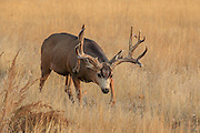 Trophy mule deer buck in open grassland habitat