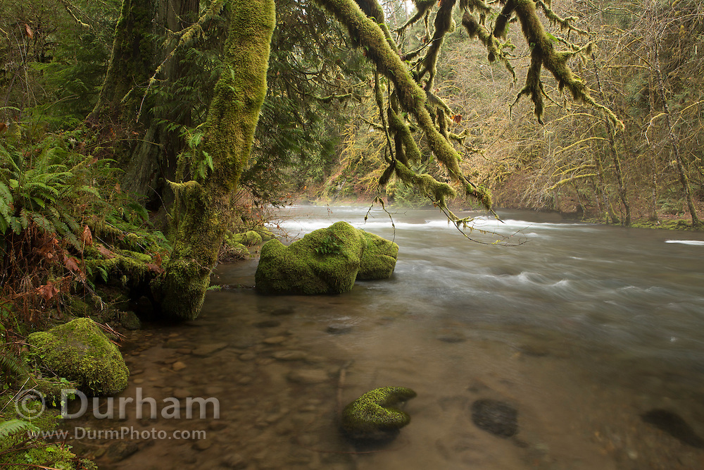 Eagle Creek with mossy old growth forest in Eagle Fern Park, Clackamas, Oregon.