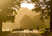 UNITED KINGDOM, London: 13 May 2015 A group of Fallow Deer cross the road in front of a cyclist during sunrise in Richmond Park, London this morning. Although it was a cold start to the day, temperatures are set to get up to 20C. Rick Findler  / Story Picture Agency