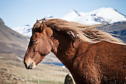 Icelandic horse in Hvalfjörður, south west Iceland. Mountain Botnsúlur in background