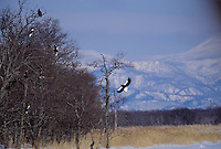 Steller's sea eagles (Haliaeetus pelagicus) landing in a snag.