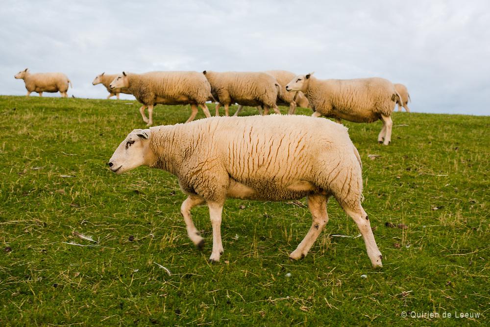 Sheeps graze on dike at Zurich town, Friesland province