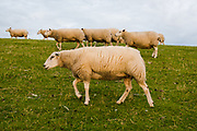 Sheeps graze on dike at Zurich town, Friesland province