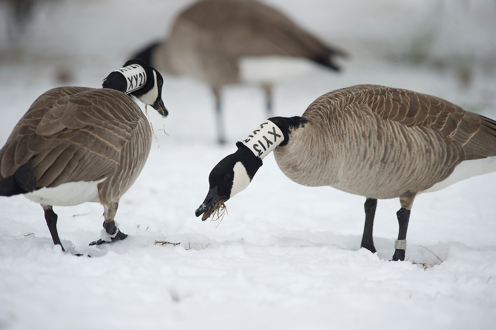 collared geese feed in a snow covered field.