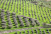 Aerial view of olive plantations in agricultural land. Photographed in the Sharon District, Israel