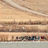 ussel country, montana, usa, snowgeese, freezeout lake wildlife area, geese, montana, usa,, russell