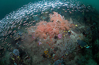 Baitfish School above soft corals on deep reef...Shot in Indonesia