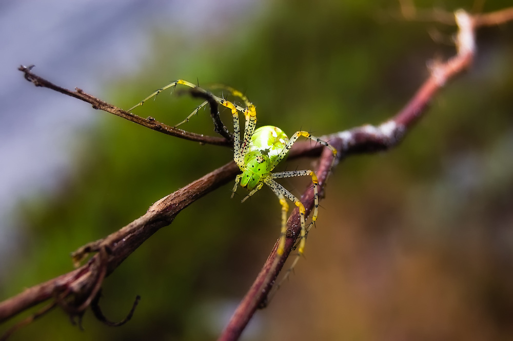 Green Lynx Spider photographed in Venice, Florida.