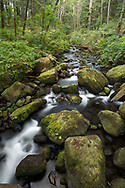 Moss covered rocks and Salmon Berry Plants (Rubus spectabilis) surround Steelhead Creek in the Hayward Lake Recreation Area in Mission, British Columbia, Canada
