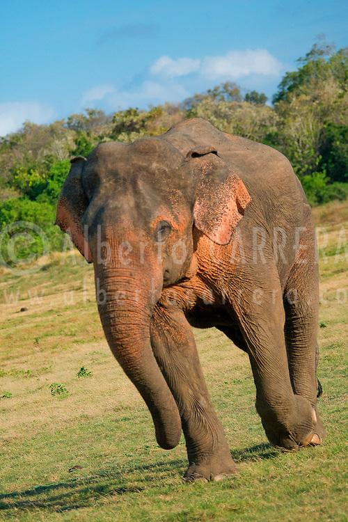 Alberto Carrera, Sri Lankan Elephant, Elephas maximus maximus, Wilpattu National Park, Sri Lanka, Asia