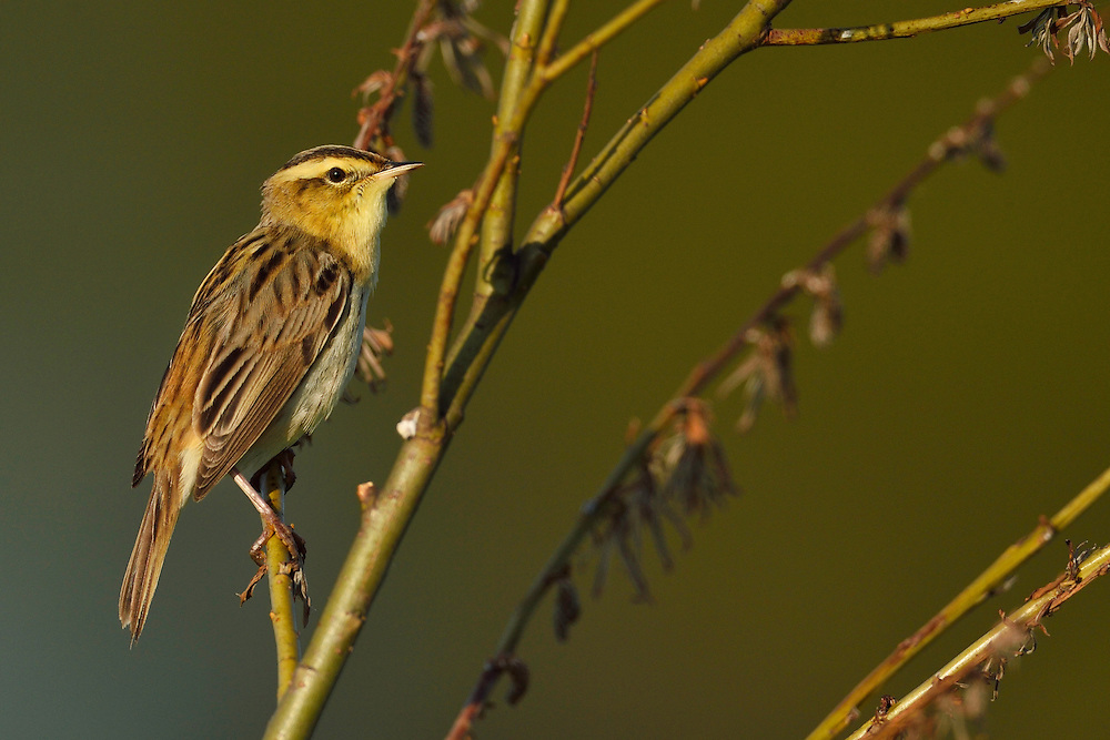 Aquatic warbler, Acrocephalus paludicola, Critically endangered species, Nemunas River Delta, Lithuania