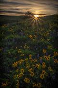 A balsam root sunset