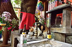 January 31, 2018 - Kyoto, JP - A pussycat has a drink from an offering cup left at a grave  at the Fushimi Inari Taisha Shrine Kyoto Japan. (Credit Image: © Rory Merry via ZUMA Wire)