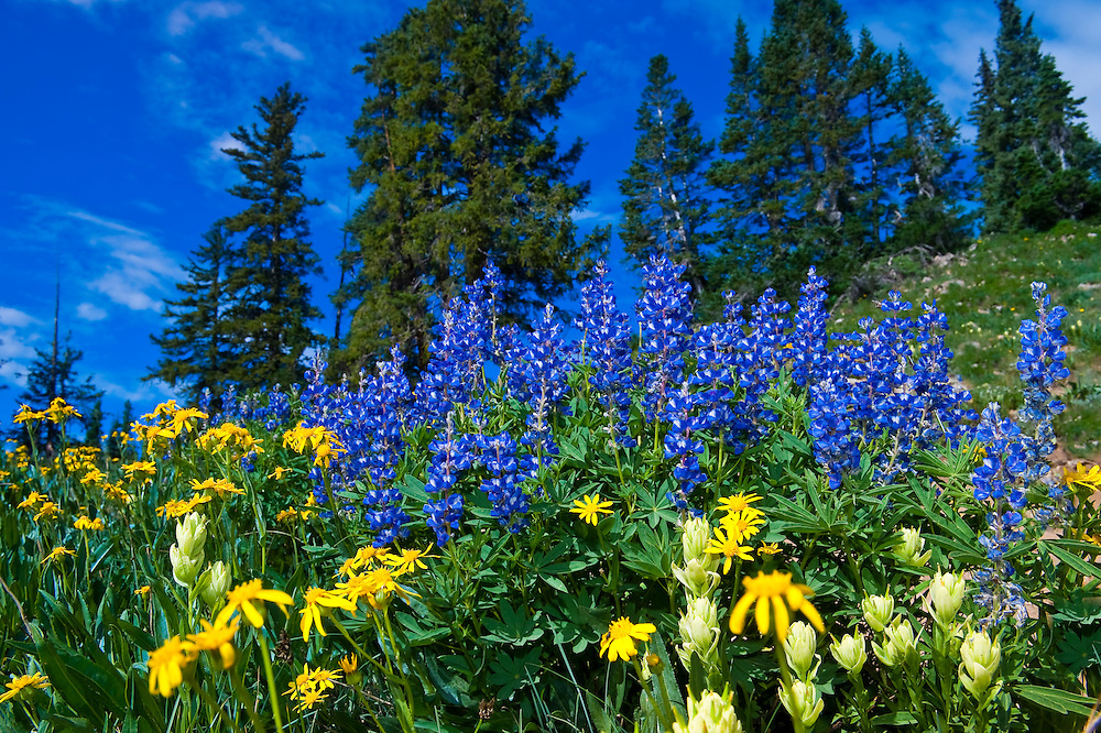 Wildflowers, Paradise Divide (at 11,500 feet), near Crested Butte, Colorado USA