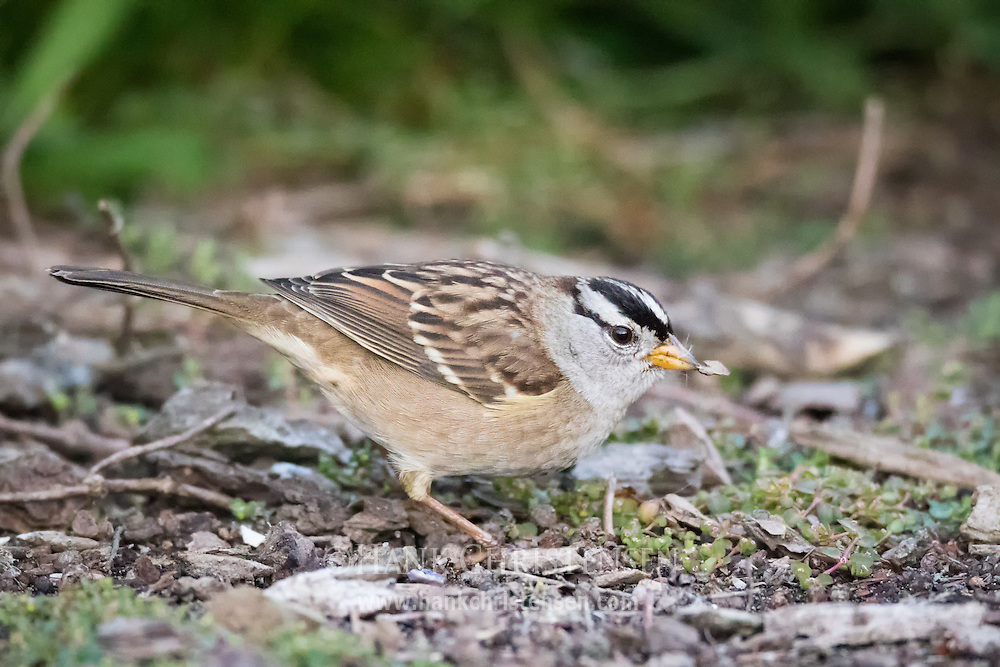 A white-crowned sparrow eats small bits of food off the ground, Redwood Shores, CA.