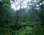 Rainforest, Hawaii Volcanoes National Park, Island of Hawaii, Hawaii, USA<br />