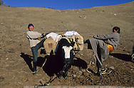 Mongolia. baby animals - yak - are living  in the yurt - ger - of Gambolt family, nomads and catle breeders in the steppe because itís too cold outside in Shuranga near  Uyanga -   /  les animaux bebes - bebe -vivent dans dans la yourte de la famille Gambolt , eleveur nomade dans la steppe car il fait trop froid dehors,  a Shuranga pres de  Uyanga - Mongolie  D