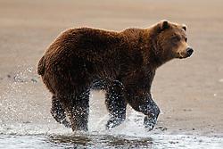North American brown bear /  coastal grizzly bear (Ursus arctos horribilis) fishing between Cook Inlet and Silver Salmon Creek, Lake Clark National Park, Alaska, United States of America