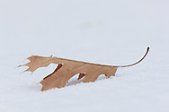 Frost on a Northern Pin Oak (Quercus ellipsoidalis) leaf, sitting on the snow.