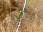 Green Bee-eater (Merops orientalis) on a branch, These birds are widely distributed across sub-Saharan Africa from Senegal and the Gambia to Ethiopia, the Nile valley, western Arabia and Asia through India to Vietnam. Photographed at the Dead Sea, Israel in December