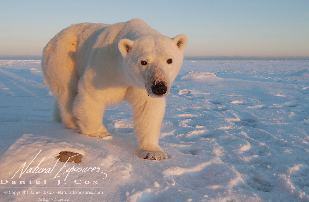 Polar Bear (Ursus maritimus) at Hudson Bay, Churchill, Manitoba, Canada.