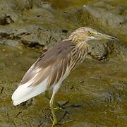 Chinese Pond Heron, Ardeola bacchus