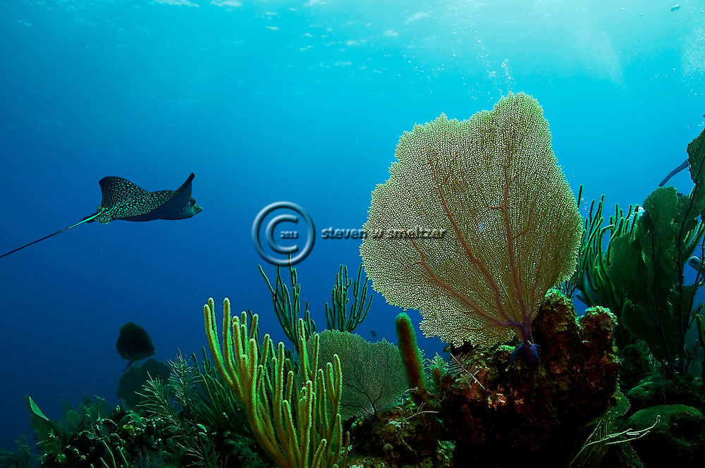 Gorgonian Fan and Spotted Eagle Ray, Grand Cayman
