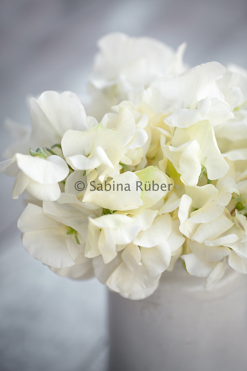 Lathyrus odoratus 'Mrs Collier' - sweet pea arrangement in small earthenware jar